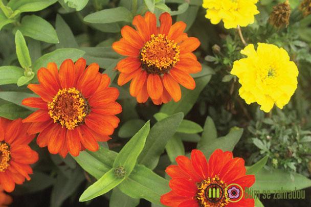 Květina cínie