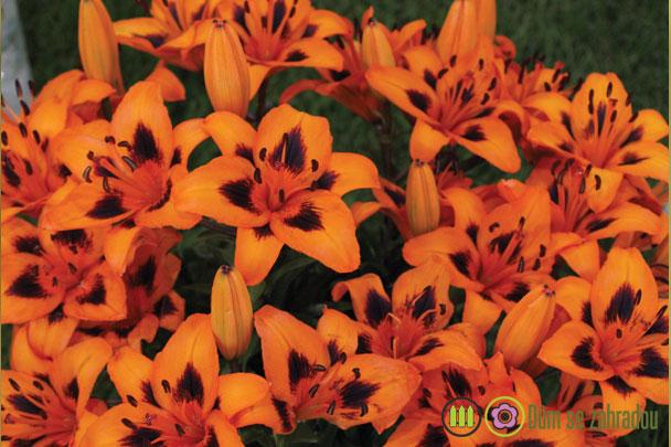 jak pěstovat lilie