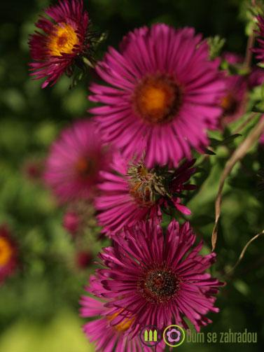 Podzimní květy našich zahrad 2
