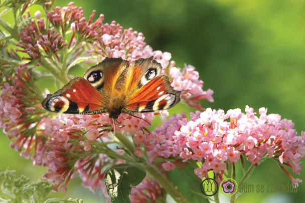 Šeřék s motýlem