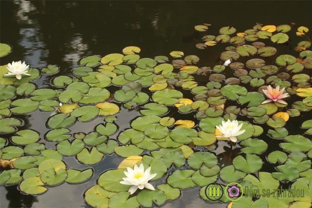 Vodní rostliny do jezírka